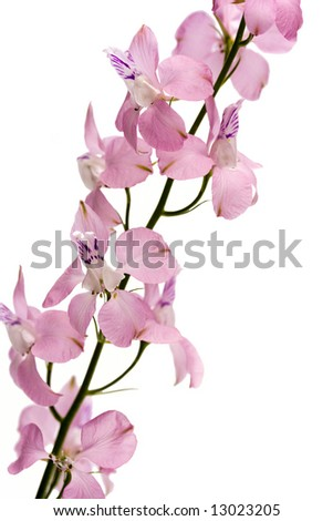 pink flowers. white background
