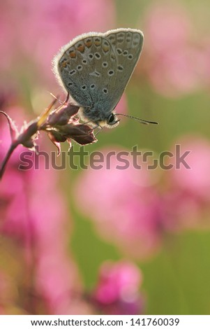 Pink flowers with Common Blue butterfly - stock photo