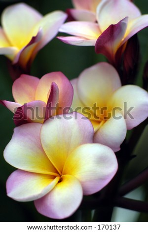 Pink frangipani. - stock photo