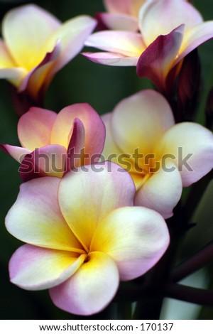 Pink frangipani. - stock photo