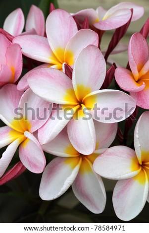 Pink Frangipani - stock photo