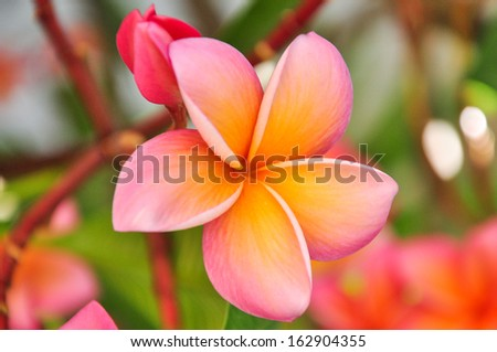Pink Frangipani background