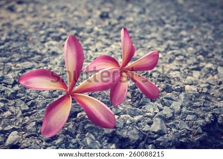 Pink frangipani flower on the stone - stock photo