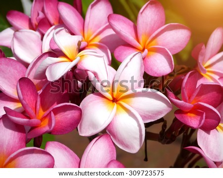 Pink frangipani flower on the tree.