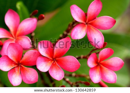 Pink frangipani flowers - stock photo