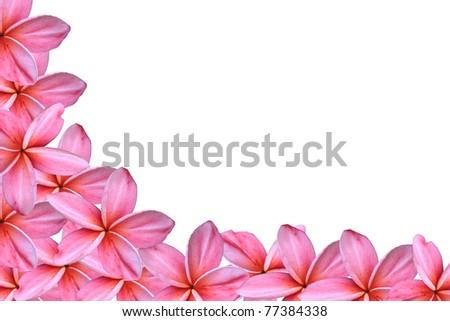 pink frangipani flowers - stock photo