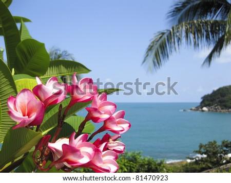pink frangipani flowers and a palm tree frame lamai beach on koh samui and the gulf of thailand - stock photo