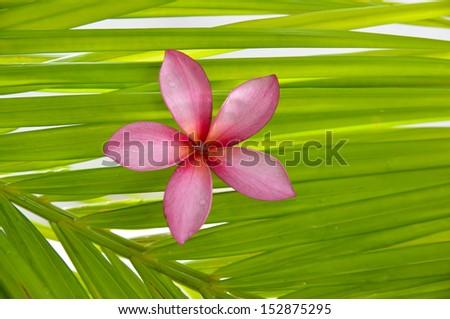 Pink frangipani flowers on palm leaf  - stock photo