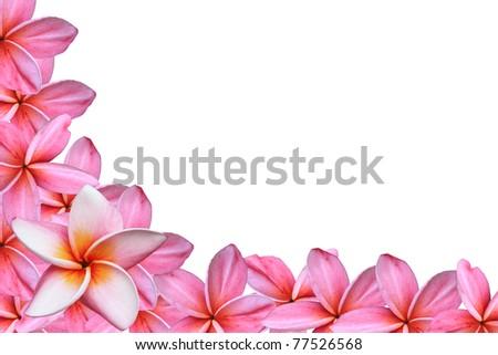 pink frangipani flowers on white background - stock photo