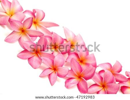 Pink frangipani for border - stock photo
