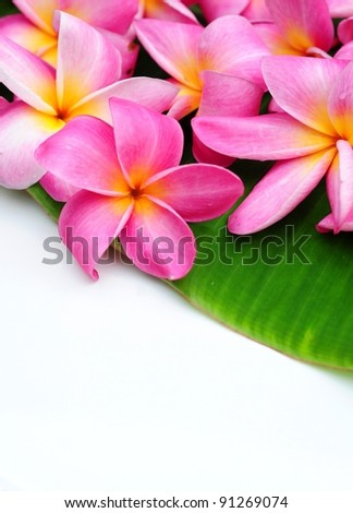 Pink frangipani on green leaf, copy space for text - stock photo