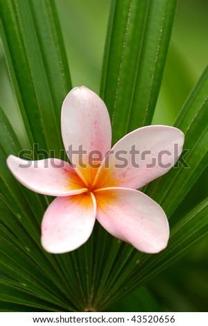 Pink frangipani on palm leaf - stock photo