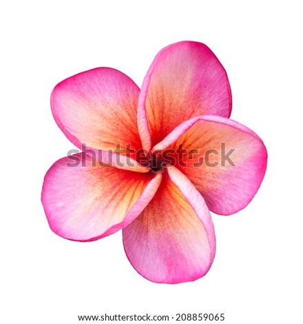 Pink Frangipani Plumeria flower  - stock photo
