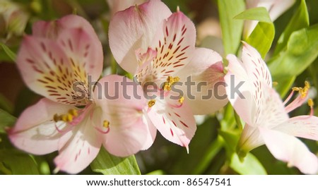 Pink freesia-blossom in close-up - stock photo