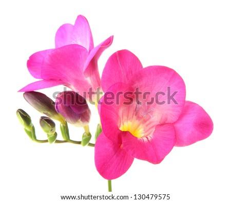 Pink freesia flower, isolated on white - stock photo