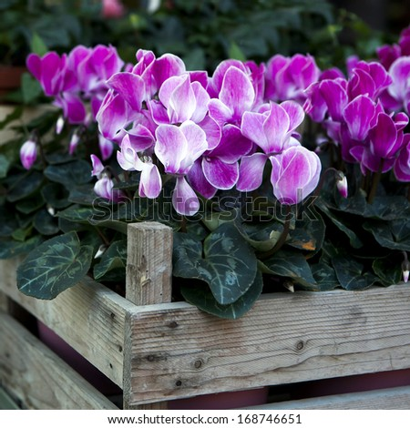 pink fresh cyclamen in wooden box for saling - stock photo