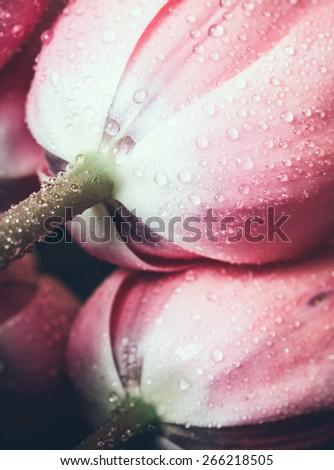 Pink fresh flowers tulips with water drops, wet petals, macro - stock photo