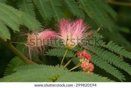 Pink fuzzy flowers green fernlike leaves stock photo edit now pink fuzzy flowers and green fern like leaves of mimosa tree albizia julibrissin mightylinksfo