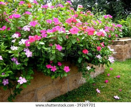 pink garden flowers - stock photo