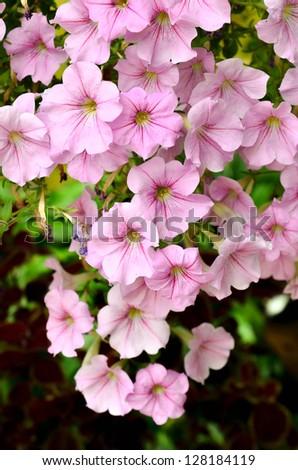 Pink Garden Petunia - stock photo