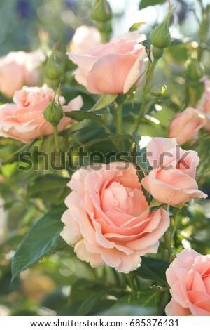 pink garden rose in the garden