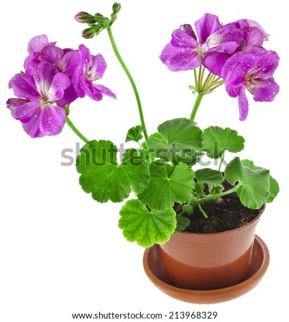 Pink geranium flower in a clay pot isolated on white background - stock photo
