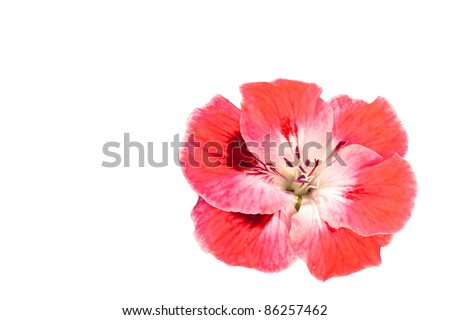 Pink Geranium Flower Isolated on White Copy Space - stock photo