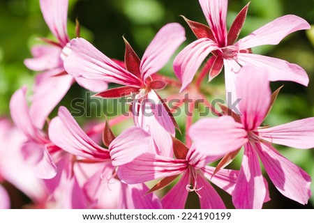 Pink geranium flowers - stock photo