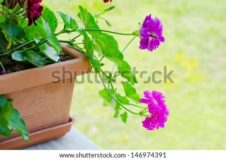 Pink geranium flowers growing in pot - stock photo