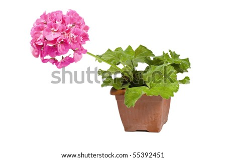 Pink geraniums in a ceramic pot isolated on a white background - stock photo
