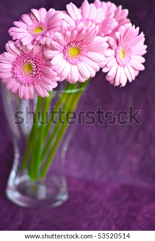 pink gerber daisies on grunge purple background - stock photo