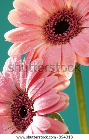 Pink Gerber Daisies on turquiose background - stock photo