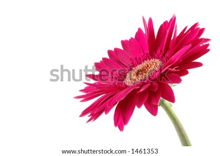 Pink gerber daisy in isolated white - stock photo