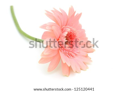 Pink Gerber daisy lay down on white - stock photo