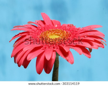 Pink Gerber Daisy on blue background, selective focus. - stock photo