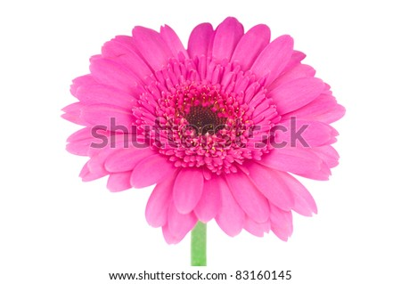 Pink gerber flower isolated on white background