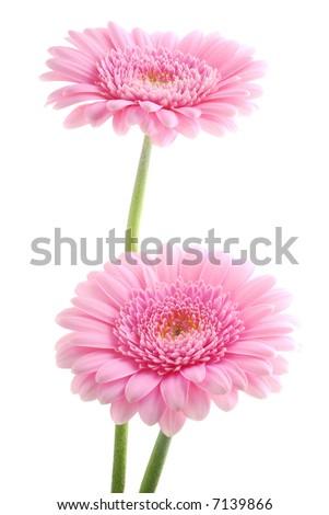 pink gerber flowers - stock photo