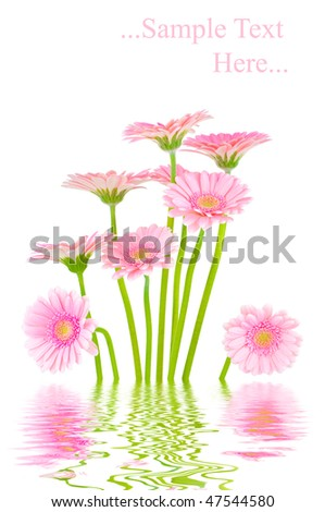 Pink gerber flowers in water isolated on white background - stock photo