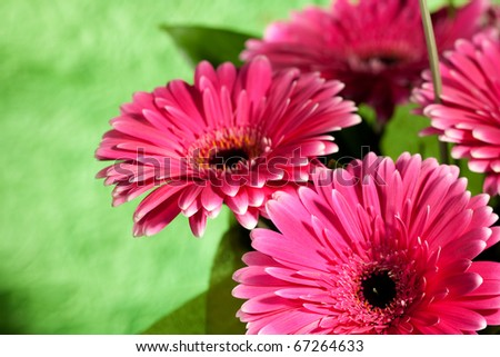 pink gerber flowers over abstract green backgrounds - stock photo