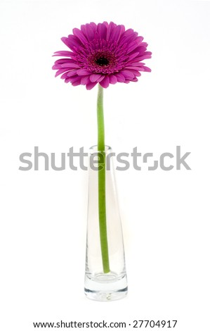 Pink gerber in vase isolated on white background