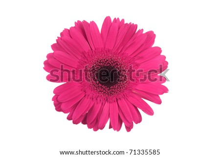 Pink Gerber isolated - stock photo