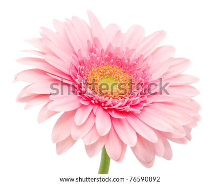 Pink gerbera - stock photo