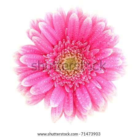 Pink gerbera blossom isolated on white background - stock photo