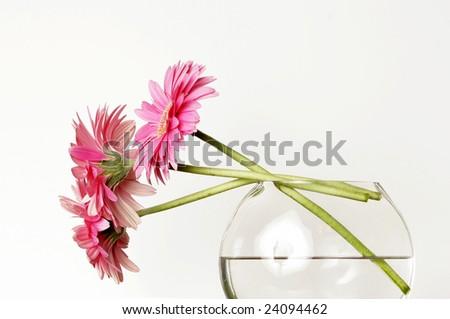 Pink Gerbera Daisies Glass Vase Stems Stock Photo Royalty Free