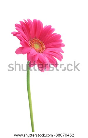 Pink gerbera daisies isolated on white background - stock photo