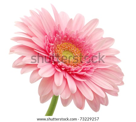 Pink gerbera daisy - stock photo