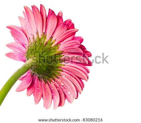 Pink Gerbera Daisy Flower Isolated on White - stock photo