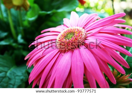 Pink gerbera flower close up picture.