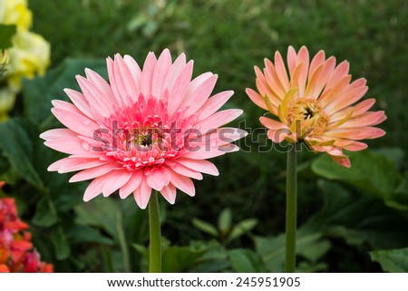Pink Gerbera Flower in the garden - stock photo