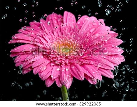 Pink gerbera flower into the rain - stock photo